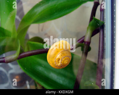 Snail with damaged shell resting on window glass outside - Stock Image