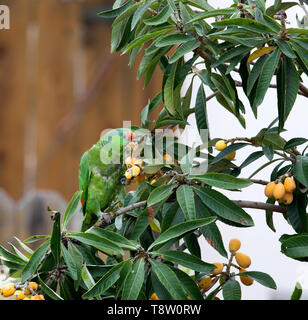 Mexican Red headed Parrot - Stock Image