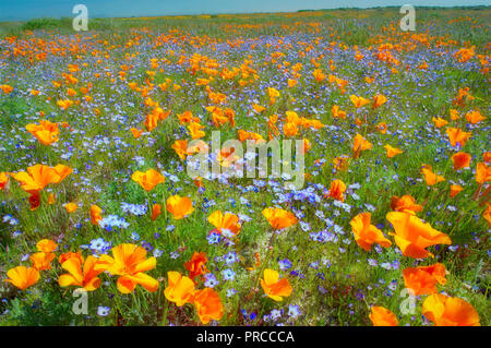 California poppies (Eshscholtzia californica) and Davy Gilia (Gilia latiflora ssp. Davyi). Near Lancaster, California - Stock Image