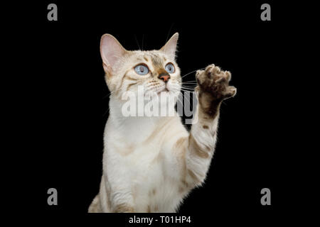 Portrait of Snow White Bengal Cat with Blue eyes Raising up paw, want touch, on isolated Black Background, front view - Stock Image