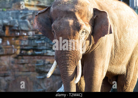 An adult asian elephant (Elephas maximus) walking in the sunshine. - Stock Image