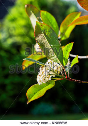 Photinia fraseri, Red Robin, ornamental, tree, shrub, showing red-tipped leaves in late May, Germany. - Stock Image