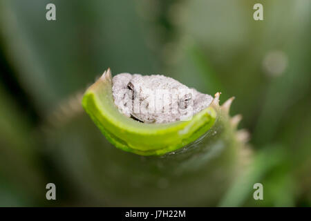 White toad on end of aloe vera leaf - Stock Image