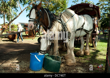 a pair of Draught Horses hitched to a wagon, resting and feeding in the shade - Stock Image