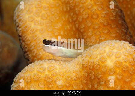 Banda combtooth-blenny, Ecsenius bandanus. Also known as Banda Clown-blenny and Banda comb-tooth. Tulamben, Bali, Indonesia. Bali Sea, Indian Ocean - Stock Image