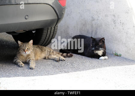 Two Street Cat Lying Under The Car On The Road In The Street, Close Up View - Stock Image