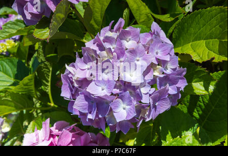 Closeup of a single Hydrangea flower growing in Summer in the UK. - Stock Image