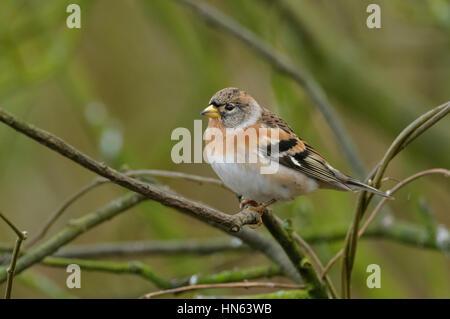 Brambling (Fringilla montifringilla) female in winter plumage. Norfolk, England. January. - Stock Image