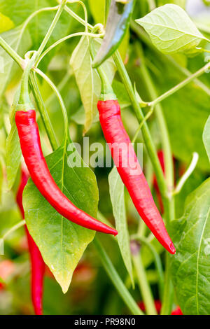 Chilli plant 'Masquerade' growing red peppers, UK. - Stock Image