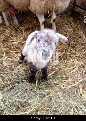 Little lamb - Stock Image
