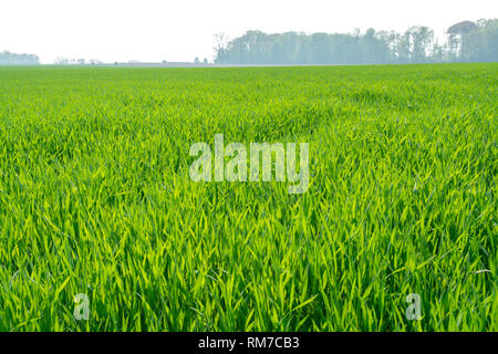 Spring fields panorama landscape with fresh green grass - Stock Image