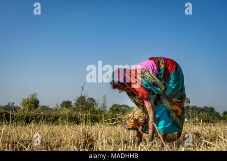 A lady working in field picking up pieces of grass having wheat grains , photo from village of India where still agriculture is done without machines. - Stock Image