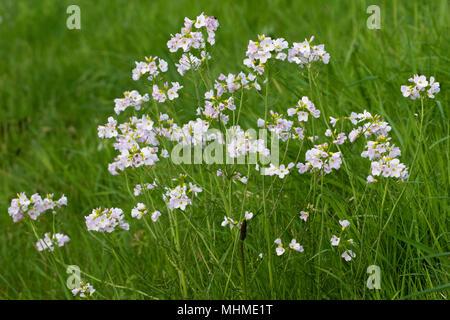 Cuckooflower / Lady's-smock (Cardamine pratensis) flowers - Stock Image