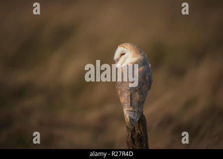 Barn owl, Tyto alba,perched against a background of dry grass. - Stock Image