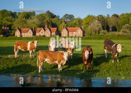 Cattle graze by the brook, near Hambleden, Buckinghamshire - Stock Image
