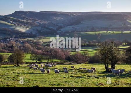 Sheep in field above Chapel-en-le-Frith. Peak District National Park, Derbyshire, England. - Stock Image