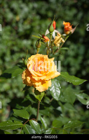 Orange Rose  growing in  garden on a summer day Cheshire England - Stock Image