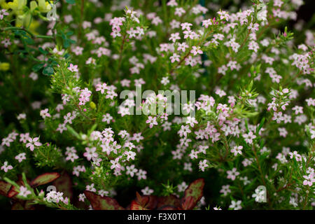 Diosma ericoides 'Sunset Gold' close up of flowers - Stock Image