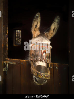 Jack Donkey looking over a stable door, Frigiliana, Malaga Province, Andalucia, Spain - Stock Image