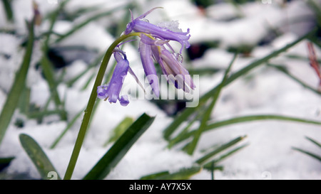 PICTURE CREDIT DOUG BLANE Blue bell flowers under snow in Woburn Sands woodlands Buckinghamshire - Stock Image