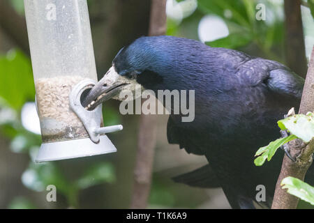 Stirlingshire, Scotland, UK. 27th Mar, 2019. a rook using its intelligence to access sunflower seeds in a bird feeder in a Stirlingshire garden. Much too large to perch on the feeder, and unable to reach the seeds inside, the rook could just manage to stretch and grab the perch in its beak. It then pulled the feeder towards itself before letting it go again in a swinging motion. As the feeder swung back towards the rook it was close enough for it to quickly grab a beakful of seeds, repeating the feat several times before being disturbed Credit: Kay Roxby/Alamy Live News - Stock Image