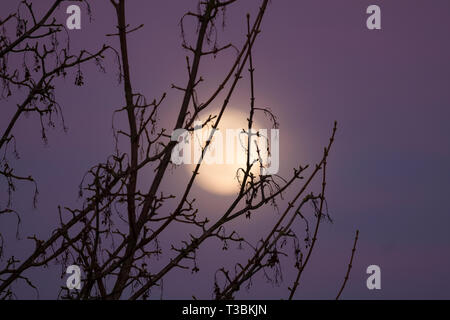 The moon rising behind a tree during a pink coloured sunset. - Stock Image
