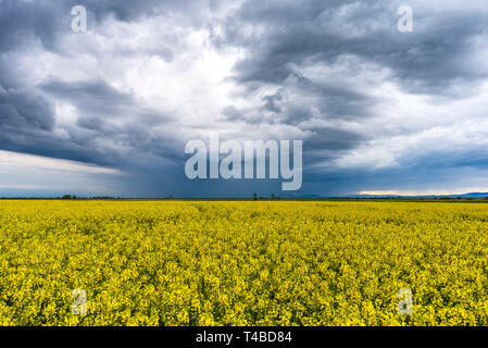 Spring agricultural landscape with big rape fields , farmland panorama with cloudy rainy sky. - Stock Image