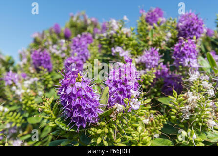 Small purple flowers of Hedge Veronica, Veronica × franciscana (AKA New Zealand speedwell), in a park in Summer in the UK. - Stock Image