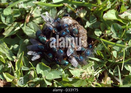 Bluebottle flies (Calliphora vicina: Calliphoridae) and greenbottle flies (Lucilia caesar) feeding on a chicken - Stock Image