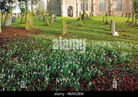 Snowdrops, Galanthus nivalis, in an English country churchyard at Shelton, Norfolk, England, United Kingdom, Europe. - Stock Image