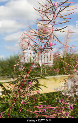 Rosebay willowherb (Chamaenerion angustifolium) a weed or wildflower native to the UK in the process of releasing - Stock Image