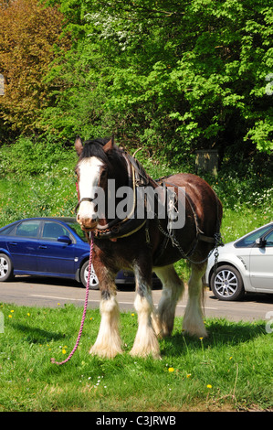 Shire horse in harness by bus stop, Hook Norton, Oxfordshire - Stock Image