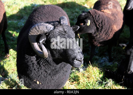 Black Welsh Mountain ram with curly horns in a field on a farm in Carmarthenshire Wales UK  KATHY DEWITT - Stock Image