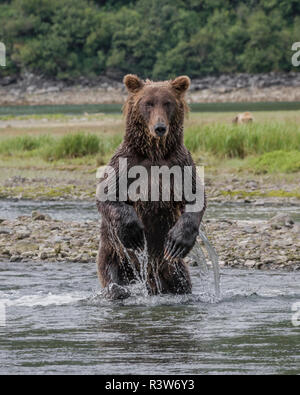 USA, Alaska, Katmai National Park. Grizzly Bear, Ursus Arctos, looking for salmon while standing upright in a stream in Geographic Harbor. - Stock Image