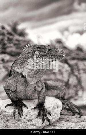 Cuban Iguana - Stock Image
