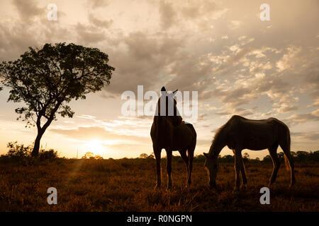 Horses in North Pantanal, Brazil - Stock Image