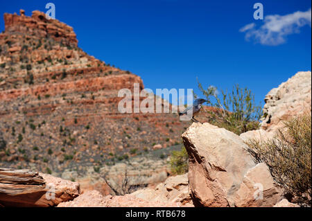 Pinyon jay (Gymnorhinus  cyanocephalus) perching on a rock close to the Bright Angel Trail, descending down the Grand Canyon from the South Rim. - Stock Image