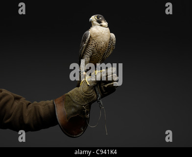 Peregrine Falcon resting on gloved Falconer's hand. - Stock Image