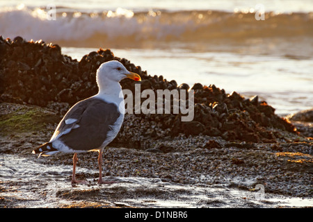 A seagull is captured, at low tide, among the tide pools. - Stock Image