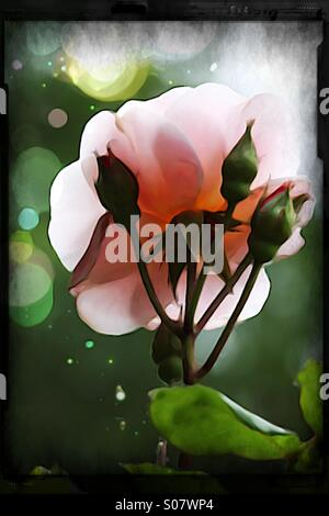 Backlit delicate rose blossom and three buds with bokeh background - Stock Image