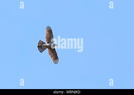 Northern goshawk (Accipiter gentilis) flying in blue cloudless sky - Stock Image