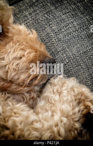 Close up of the nose and mouth of a beige coloured Labradoodle dog as it sleeps - Stock Image
