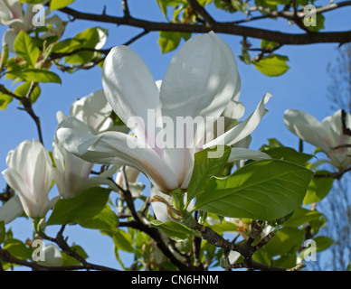 White Magnolia in Parkland - Stock Image