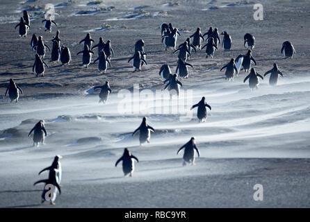 Gentoo Penguins walking through a sandstorm, Sea Lion Island, Falkland Islands, - Stock Image