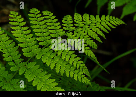 Single Fern Branch with Rain Drops in Smokies Forest - Stock Image