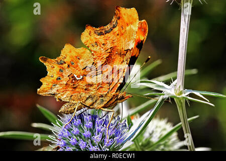Comma Butterfly (Polygonia c-album) On A flower Berkshire UK - Stock Image