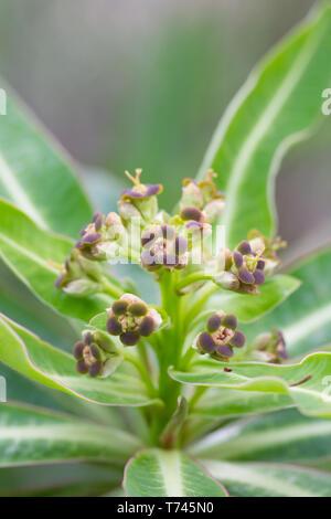 Euphorbia mellifera flowers. - Stock Image