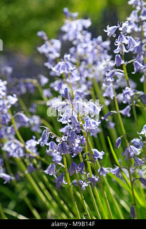 Hyacinthoides hispanica - Spanish Bluebell - April - Stock Image