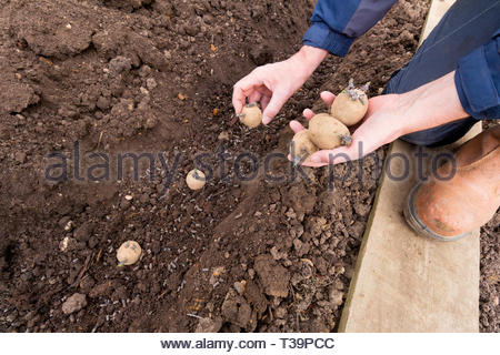 Gardener planting first early potatoes in to a prepared trench - variety is Home Guard - Stock Image