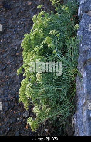 Marine plant growing out of rock on Promenade Paul Chapel, Conleau, Vannes, Morbihan, Brittany, France - Stock Image